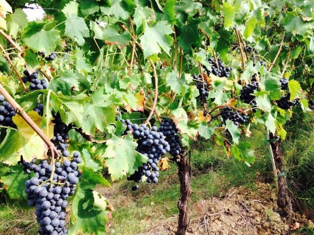 Villa Migone: uva